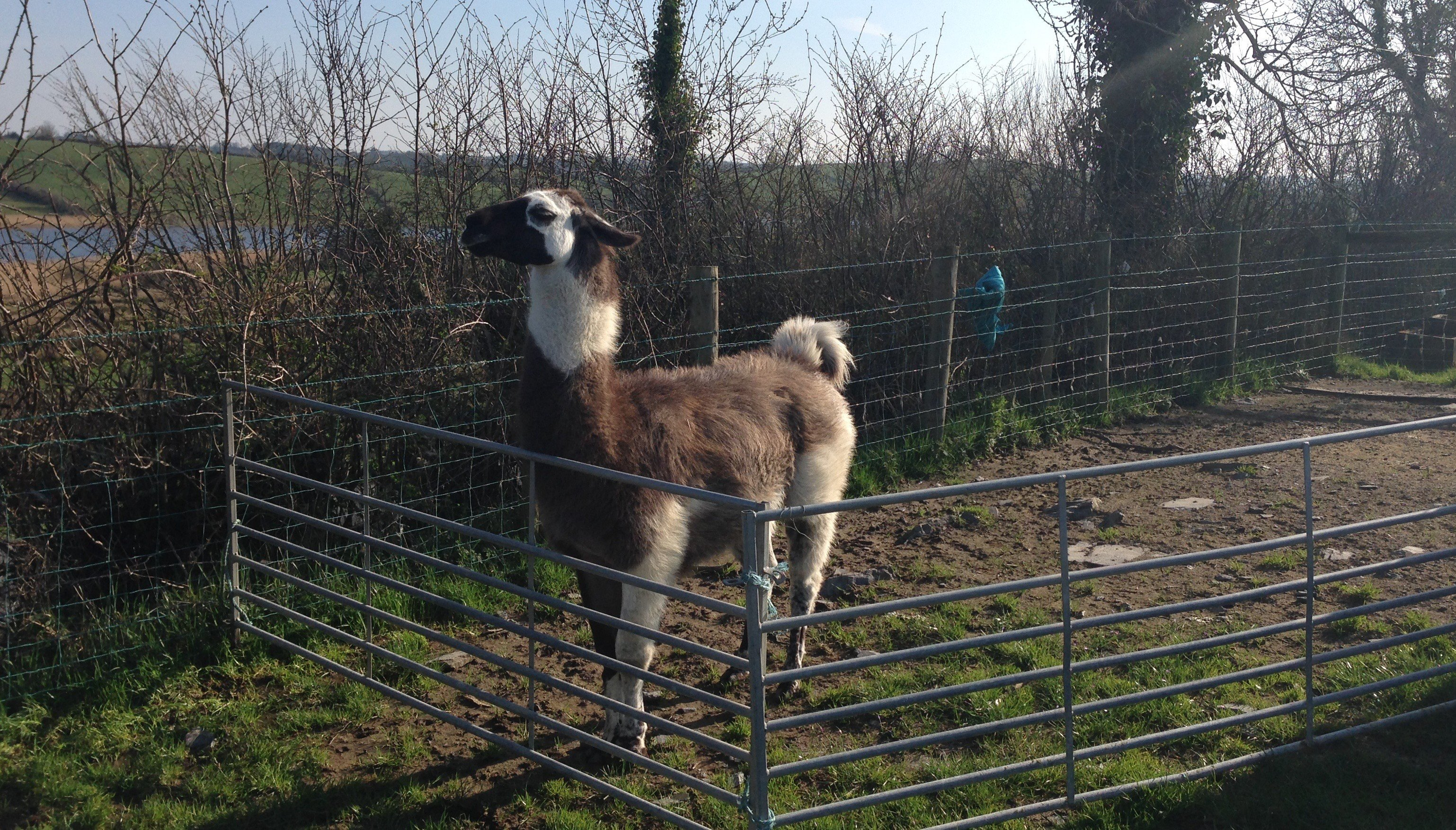 There are No Llamas In Clontarf